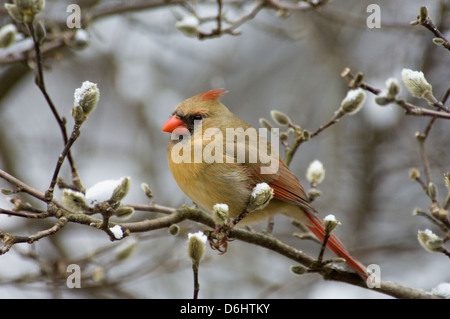 Female Northern Cardinal Perched on Branch of Star Magnolia in Floyd County, Indiana - Stock Photo
