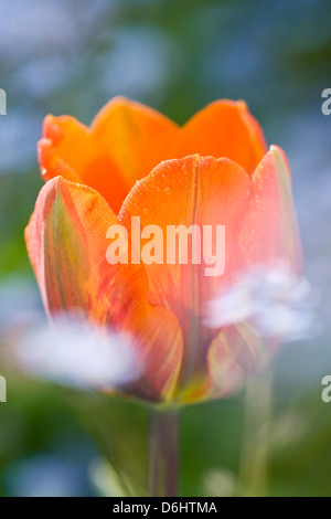 Tulipa Princess Irene with Forget-me-not - Stock Photo