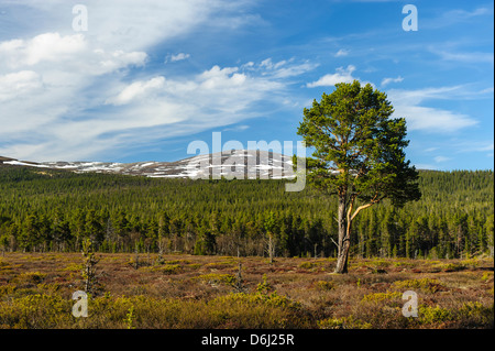 Sweden, Jamtland, Valadalen Nature Preserve. Clearing with a solitary Scots Pine (Pinus sylvestris) in the Boreal - Stock Photo