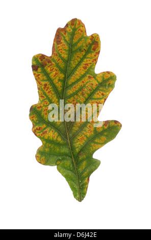 big colored oak leaf on white background - Stock Photo