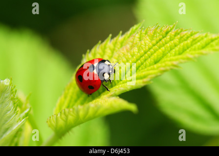 red speckled ladybird on the leaf - Stock Photo