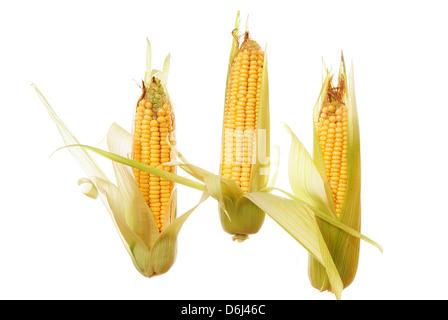 three raw ripe corn on white background - Stock Photo