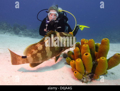 Nassau grouper with dive guide in Turks and Caicos, West Indies, Caribbean, Central America - Stock Photo
