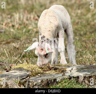 Close-up portrait of a very young  and cute little lamb grazing in the spring sun - Stock Photo