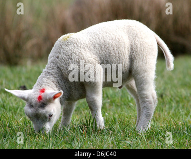 Close-up portrait of a young  and cute little lamb grazing in the spring sun - Stock Photo