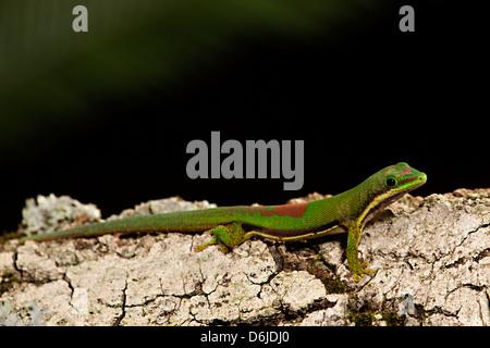 Lined Day Gecko Phelsuma lineata - Stock Photo