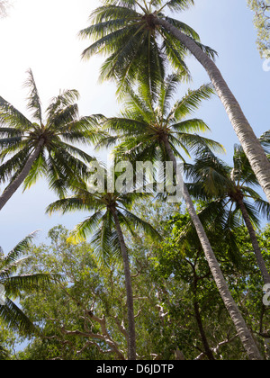 Palm trees on beach at Palm Cove, Cairns, North Queensland, Australia, Pacific - Stock Photo