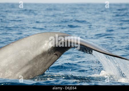 Blue whale, Southern Province, Indian Ocean, Sri Lanka, Asia - Stock Photo