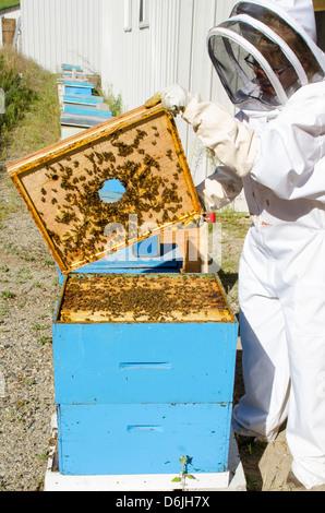 Bee keeping at Arlo's Honey Farm, Kelowna, British Columbia, Canada, North America - Stock Photo