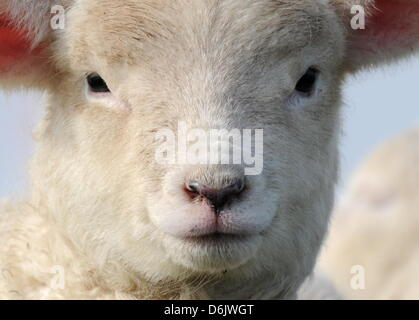 A lamb looks into the camera on the North Sea dike with their mother near Westerhever,Germany, 27 March 2012. In - Stock Photo