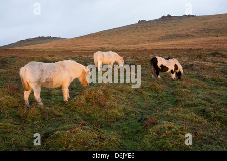 Ponies grazing, tor in background, Dartmoor National Park, Devon, England, United Kingdom - Stock Photo