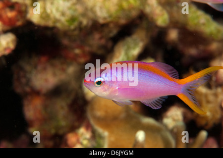 Female purple queen anthias, Pseudanthias tuka, Sulawesi Indonesia - Stock Photo