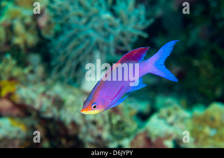 Male purple queen anthias, Pseudanthias tuka, Sulawesi Indonesia - Stock Photo