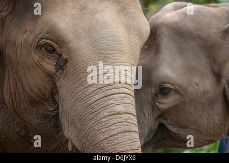 Elephants, Golden Triangle, Thailand, Southeast Asia, Asia - Stock Photo