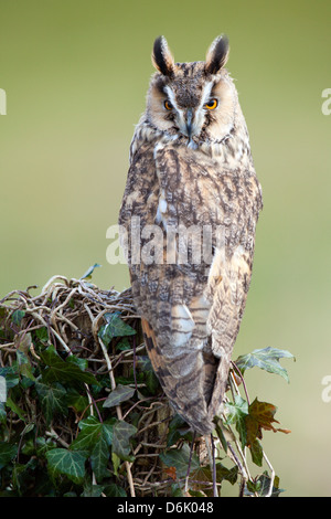 A portrait image of a Long Eared Owl Asio otus perched on a wooden stump. I(c) Stock Photo