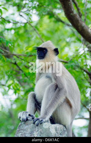 Tufted grey langurs (Semnopithecus priam), Polonnaruwa, North Central Province, Sri Lanka, Asia - Stock Photo