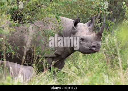 Black rhino (Diceros bicornis), Masai Mara, Kenya, East Africa, Africa - Stock Photo