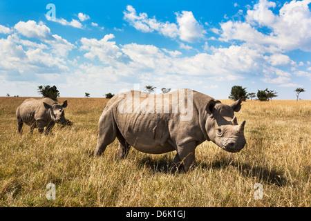 Rhinoceros, Ol Pejeta Conservancy, Laikipia, Kenya, East Africa, Africa - Stock Photo