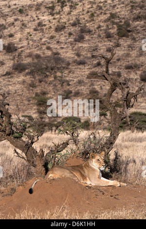 Lioness (Panthera leo), Lewa Wildlife Conservancy, Laikipia, Kenya, East Africa, Africa - Stock Photo