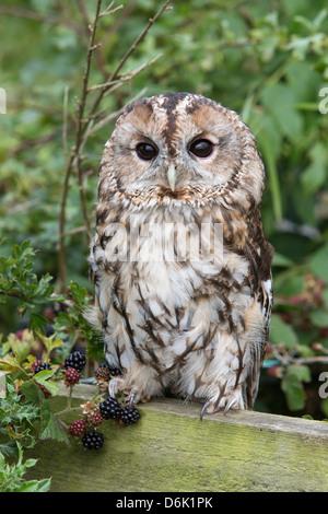 Tawny owl (Strix aluco), captive, United Kingdom, Europe - Stock Photo