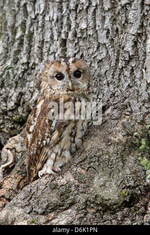 Tawny owl (Strix aluco), captive, camouflaged on tree, United Kingdom, Europe - Stock Photo