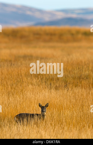 Roe deer (Capreolus capreolus), Islay, Scotland, United Kingdom, Europe - Stock Photo