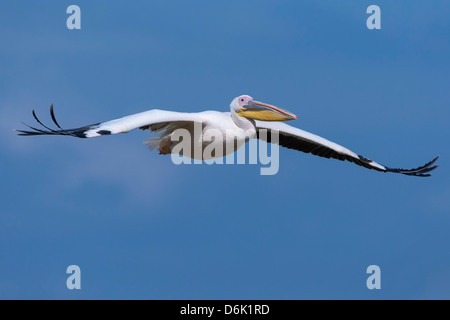 Great white pelican (Pelecanus onocrotalus) in flight, Lake Nakuru National Park, Kenya, East Africa, Africa - Stock Photo