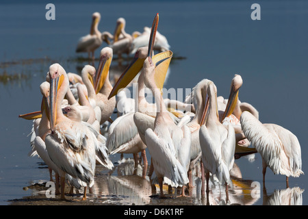 Great white pelicans (Pelecanus onocrotalus), Lake Nakuru National Park, Rift Valley, Kenya, East Africa, Africa - Stock Photo