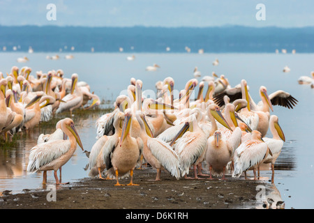 Great white pelicans (Pelecanus onocrotalus), Lake Nakuru National Park, Kenya, East Africa, Africa - Stock Photo