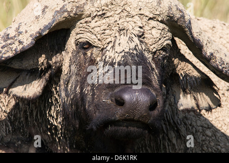 Cape buffalo (Syncerus caffer) with dried mud, Lake Nakuru National Park, Kenya, East Africa, Africa - Stock Photo