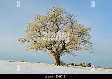 Oak tree with hoar frost, near Villingen-Schwenningen, Schwarzwald-Baar, Baden-Wurttemberg, Germany, Europe - Stock Photo
