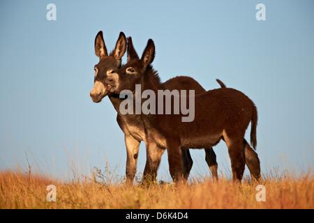 Two young wild burro (donkey) (Equus asinus) (Equus africanus asinus) playing, Custer State Park, South Dakota, - Stock Photo