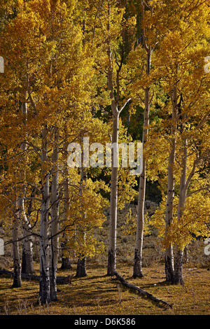 Yellow aspens in the fall, San Miguel County, San Juan Mountains, Colorado, United States of America, North America - Stock Photo