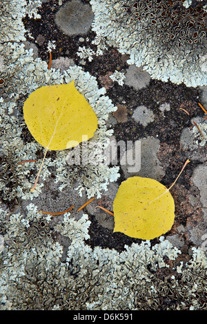 Yellow aspen leaves on a lichen-covered rock in the fall, Uncompahgre National Forest, Colorado, USA - Stock Photo