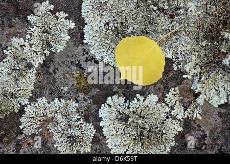 Yellow aspen leaf on a lichen-covered rock in the fall, Uncompahgre National Forest, Colorado, USA - Stock Photo