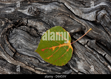 Aspen leaf turning red, orange, and yellow, Uncompahgre National Forest, Colorado, United States of America, North - Stock Photo