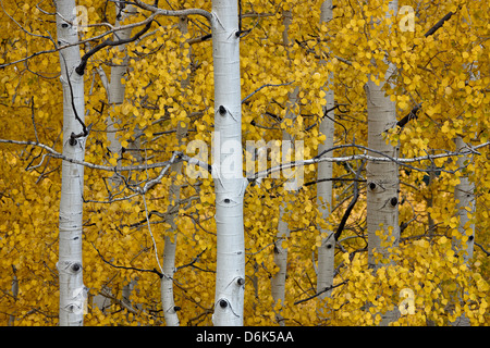 Aspen trunks among yellow leaves, Uncompahgre National Forest, Colorado, United States of America, North America - Stock Photo