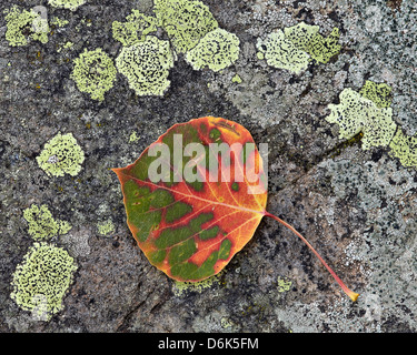 Aspen leaf turning red and orange on a lichen-covered rock, Uncompahgre National Forest, Colorado, USA - Stock Photo