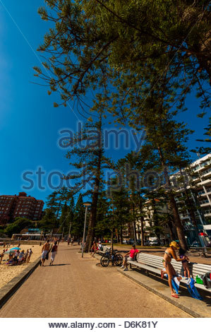 Manly Norfolk Island Pine Trees