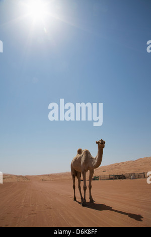 Camel in the desert, Wahiba, Oman, Middle East - Stock Photo