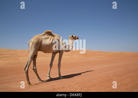 Camel in the desert, Wahiba, Oman, Middle East