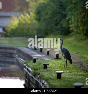 Grey Heron (Ardea cinerea) fishing from the bank of the Birmingham and Fazeley Canal Curdworth Birmingham Canal - Stock Photo