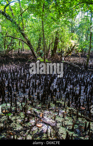 Mangrove roots on Carp island, Rock islands, Palau, Central Pacific, Pacific - Stock Photo