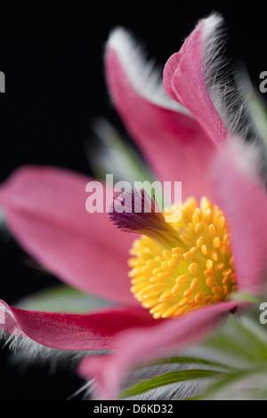 Close up studio shot of Pulsatilla Vulgaris against a black background - Stock Photo