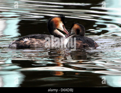 Couple of  swimming adult Great Crested Grebes (Podiceps cristatus) in breeding plumage - Stock Photo