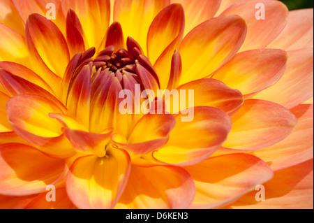 Fiery yellow, orange bulb Dahlia in extreme close up - Stock Photo
