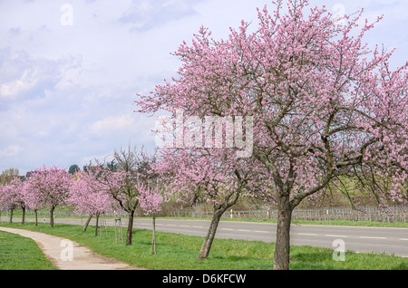 Almond blossom on the German Wine Route - Stock Photo
