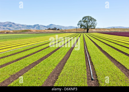 Young 'Baby Lettuce' growing in field. - Stock Photo