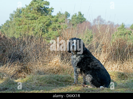 Springer Spaniel, Canis lupus. Ashdown Forest, Sussex. UK - Stock Photo