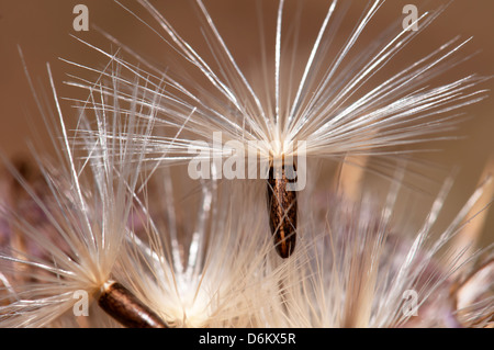 Seed, Dispersal by wind - Stock Photo